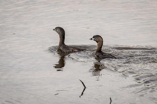 Pied-billed grebe pair