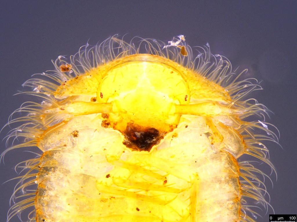 12c - Coleoptera sp.