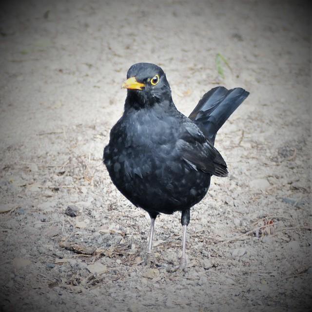 Blackbird. in my garden.Lumix FZ1000. P1290313