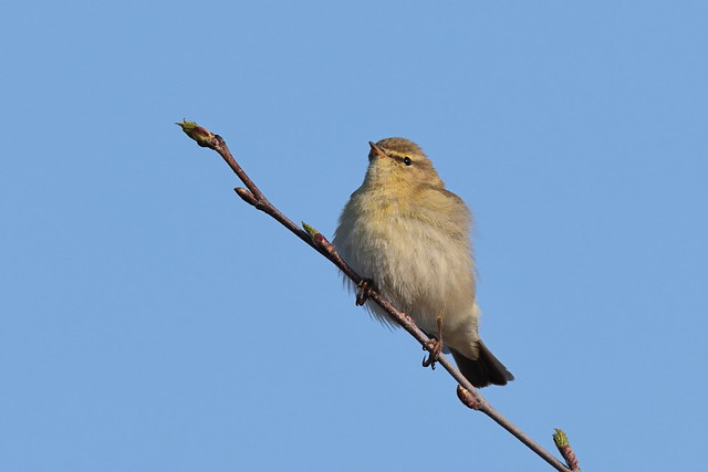 Willow Warbler (HH)