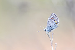 Azuré du Thym - Baton Blue - Pseudophilotes baton