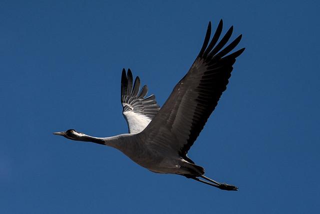 серый журавль / common crane 20210417__DSC0682