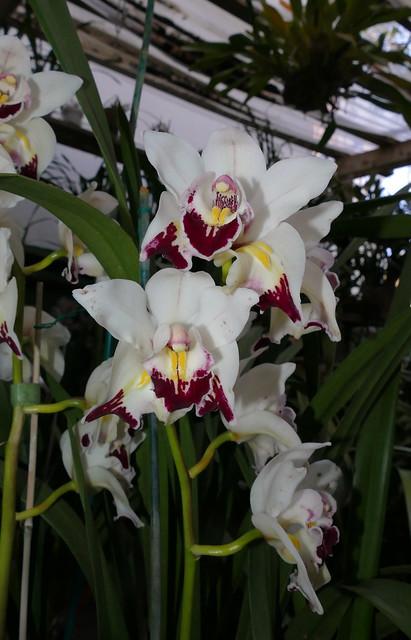 Cymbidium Fan Freak peloric  hybrid orchid 3-21
