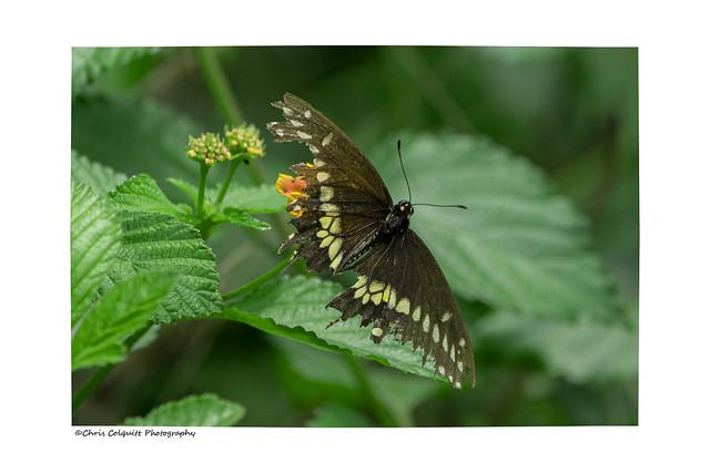 Well tattered eastern black swallowtail
