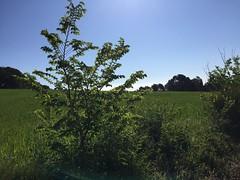 Tree (Alt Camp - Catalonia)