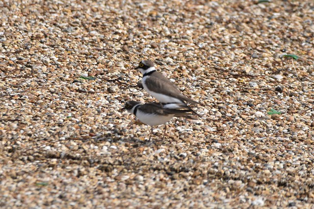 Little Ringed Plovers mating