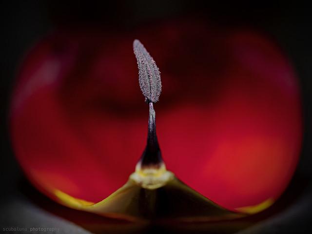 tulip stamen, Staubblatt der Tulpe
