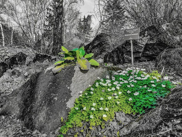 Spring in the Botanical Garden of Moscow University. Anemones (Anemone altaica) on the slope of alpinarium #2 [Rus: Весна в ботаническом саду МГУ. Ветренница алтайская на склоне альпинариума]
