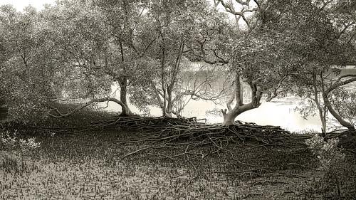 mangroves landscape roots tree treeroots mangroveroots nature nikond850 nikon2401200mmf40lens nudgeebeach nudgeebeachmangrovewalk