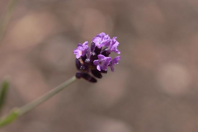 IMG_5387 Lavender
