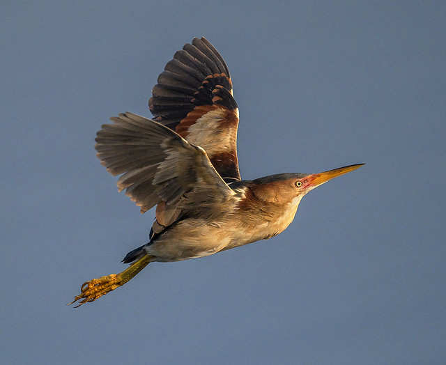 Least Bittern in flight, Wakodahatchee Wetlands.