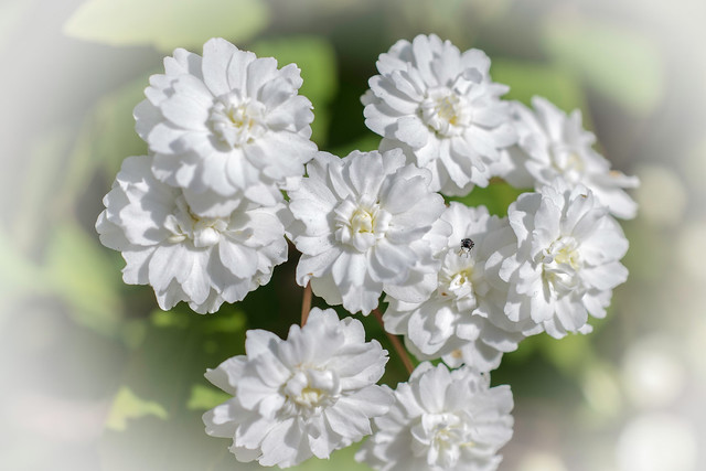 White flowers hosting insect