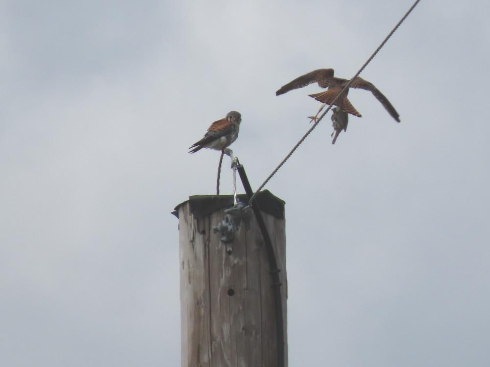 kestrel prey transfer
