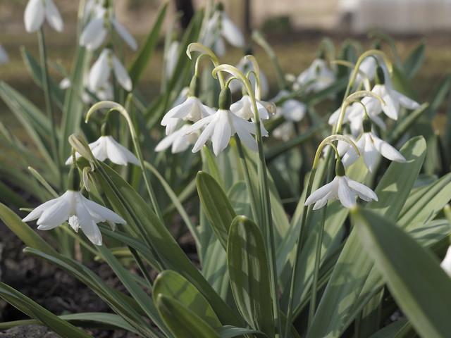 Galanthus elwesii 'Godfrey Owen'
