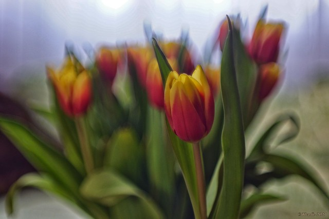 Optical Tulip Madness