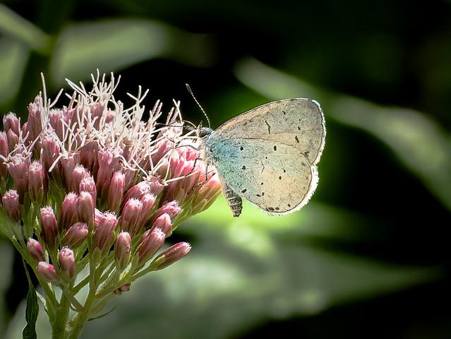 Holly Blue - Celastrina argiolusButterfly