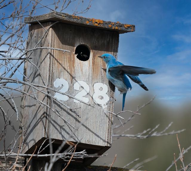 Male Mountain Bluebird 2021