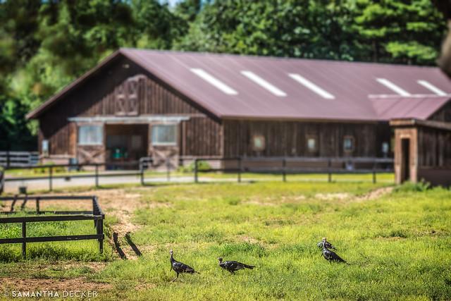 Turkeys at Old Friends at Cabin Creek