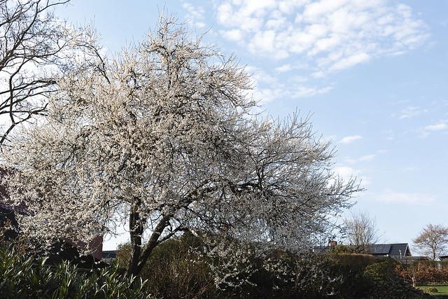 Mirabelle plum tree blooms.. 108/365