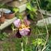 Iris nel mio orto 1