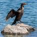 Devil's Cormorant