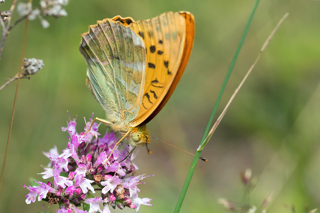 Regular Butterfly - New Flower - _TNY_6698