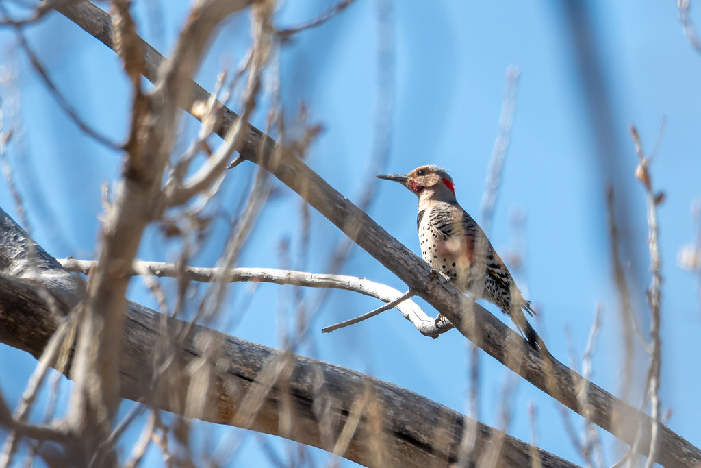 Intergrated Red-Yellow shafted Flicker-4