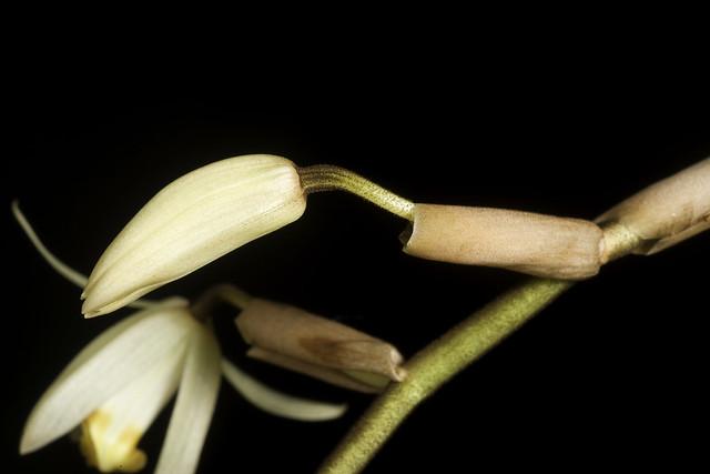 Coelogyne velutina de Vogel, Orchid Monogr. 6: 38 (1992).