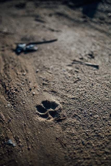 Close-up of a paw print in mud