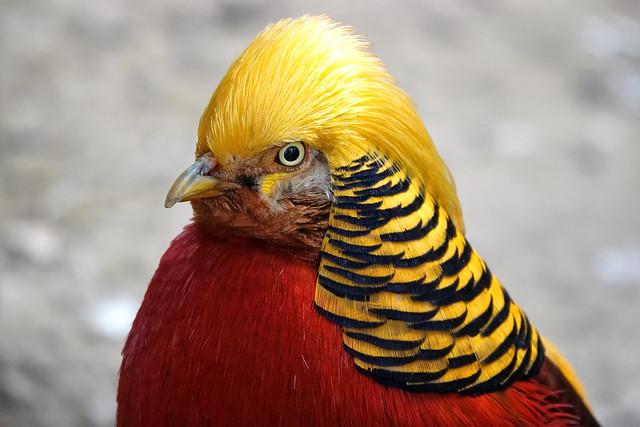 Golden Pheasant - in explore 21.04.21