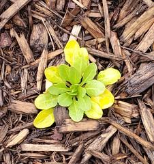 Green or Yellow? New shot of Dandelion in ideau Veterans Home Memorial Park in Riverview Park neighborhood