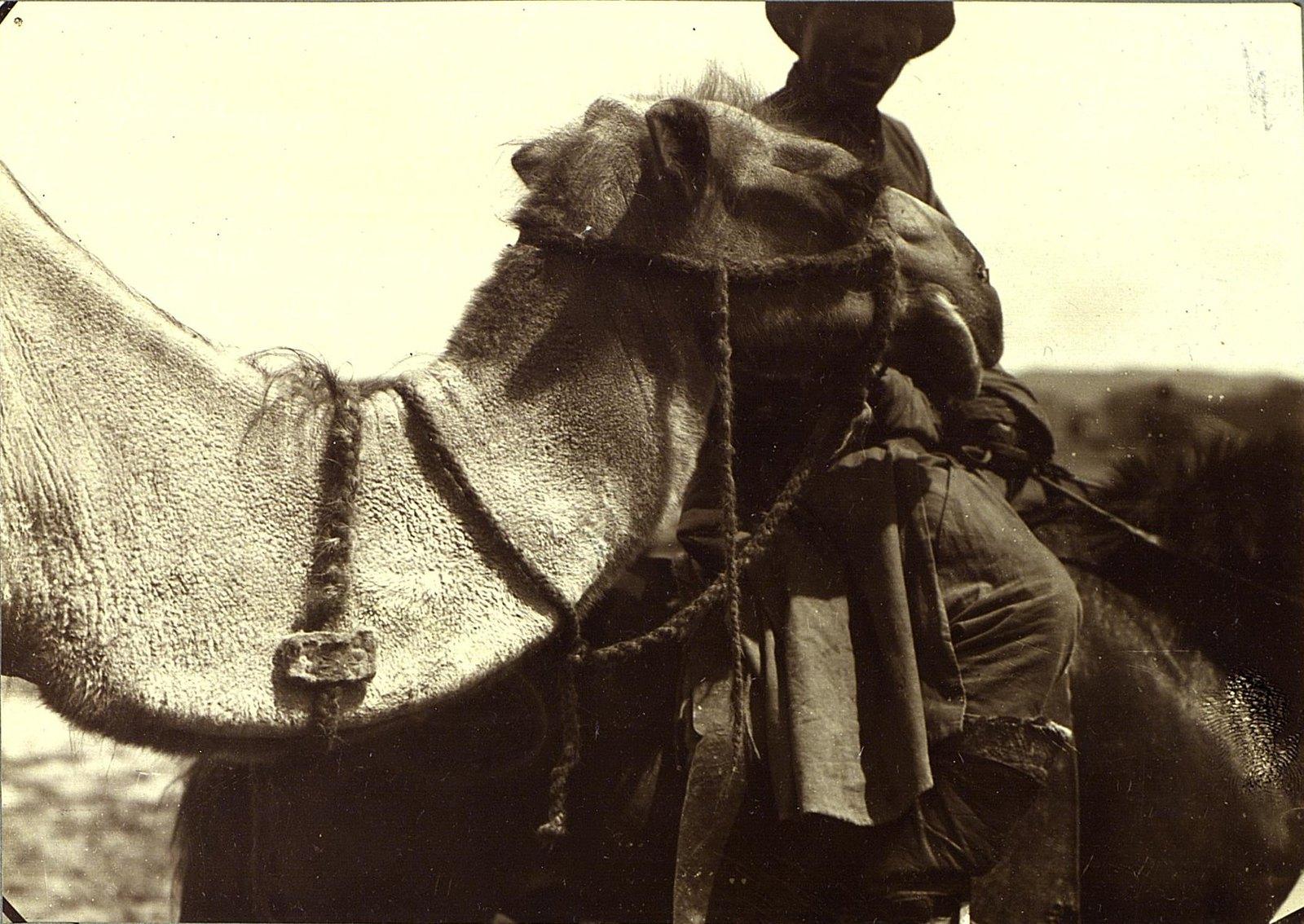 Голова верблюда