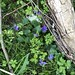 Violets on trail, hiking in Stockport Section (waypoints 3-7) of the Buckeye Trail in Ohio