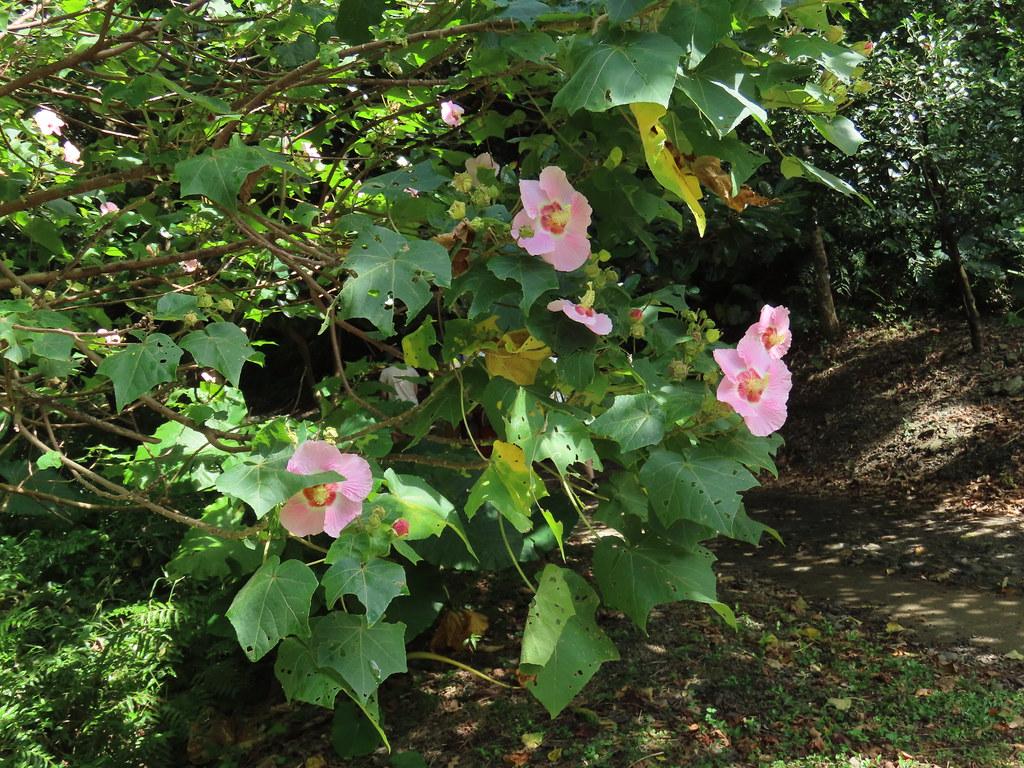 山芙蓉是很好的綠牆植物。攝影:廖靜蕙