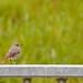 Hausrotschwanz beobachtet beim Spaziergang am Rheindamm