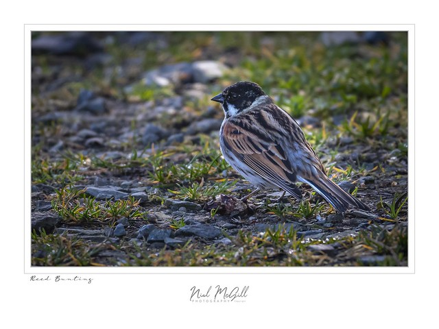 Reed Bunting-0625