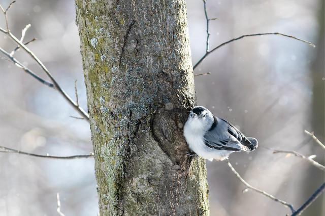 White-breasted nuthatch - sittelle à poitrine blanche
