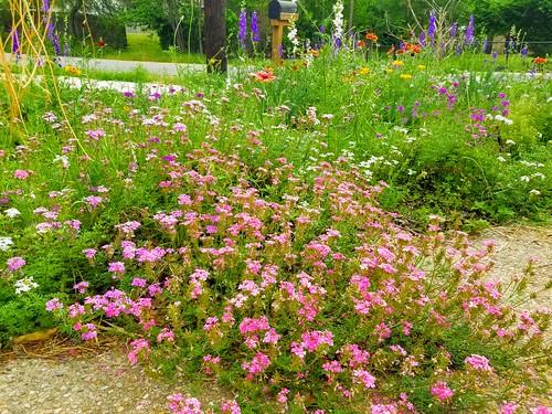 pandemic garden starting to bloom 7