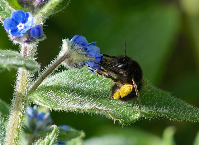 Female Hairy-footed Flower Bee --- Anthophora plumipes