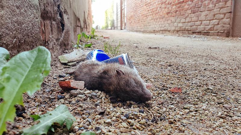 rip rat