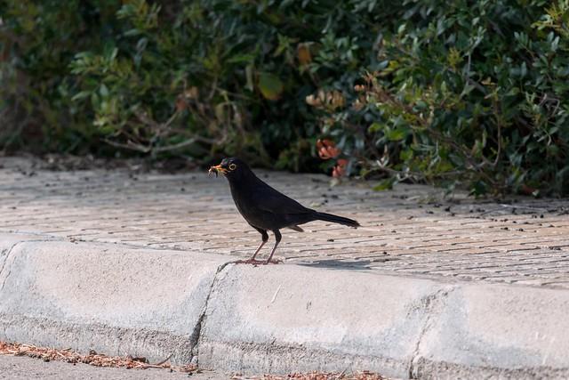 2D3A3097 Blackbird