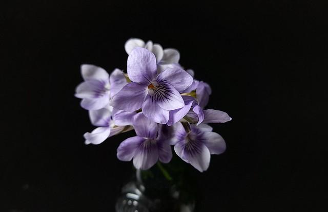 Wild Violets from my garden