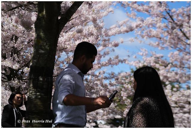 Cherry Blossoms Talk - Garry Point XTT1001e