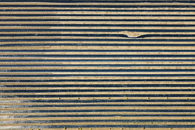 Asparagus Under Plastic Sheeting