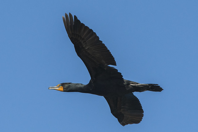 Double-crested Cormorant | Open Sky