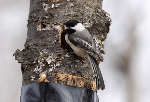 Black-capped Chickadees nesting in yard
