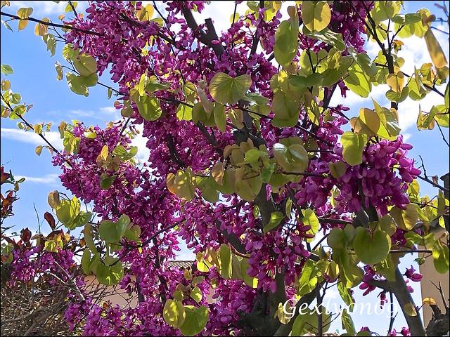 IMG_1609 - Arbre d Judée en fleurs