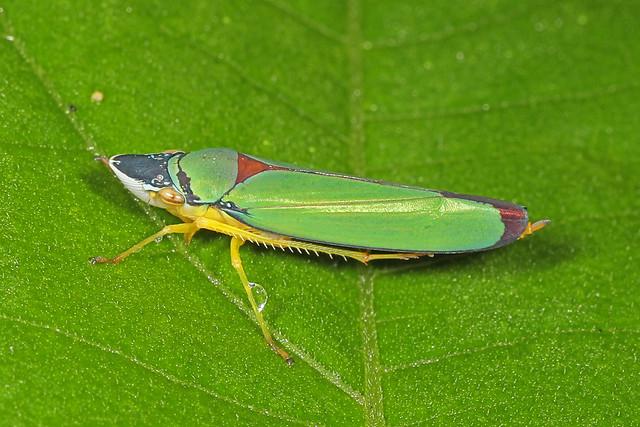 Leafhopper, Septimo Paraiso, Mindo, Ecuador, August 20, 2019
