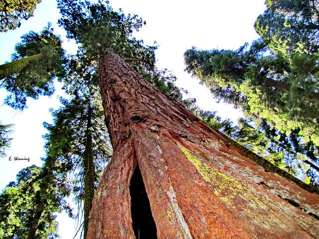 Giant Sequoia  0713