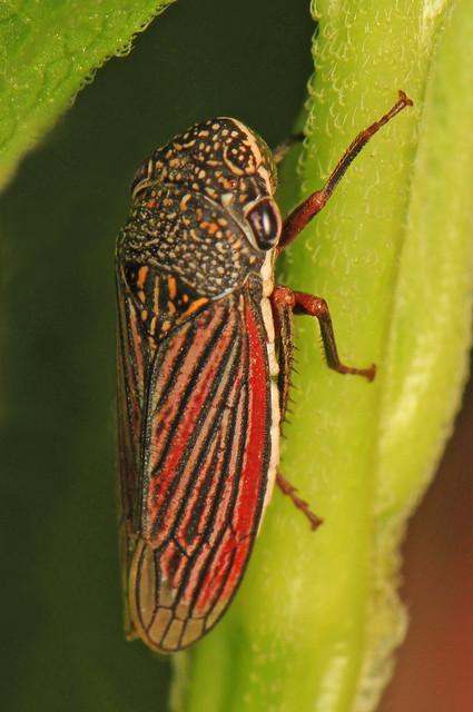 Leafhopper - Cuerna costalis, Bernheim Forest, Clermont, Kentucky